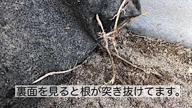 防水シートの下 雑草