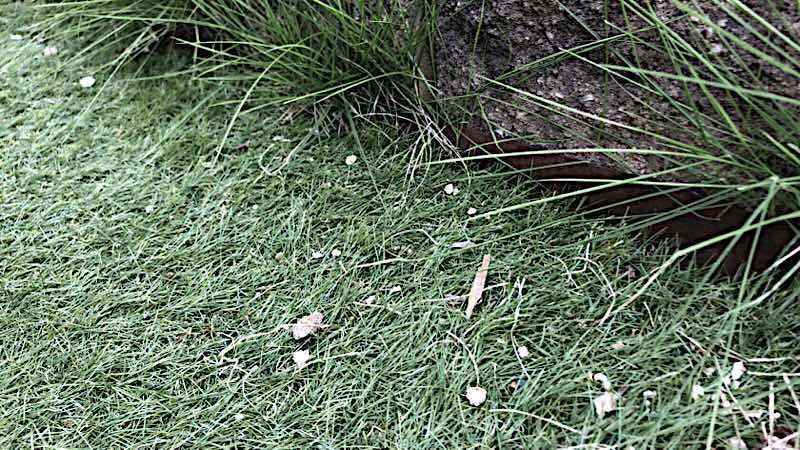人工芝の端から雑草